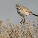 Sagebrush Sparrow - Photo (c) Filip Tkaczyk, all rights reserved