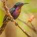 Copper-throated Sunbird - Photo (c) Sergei Drovetski, all rights reserved