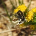 Oregon Gem Moth - Photo (c) Missy McAllister Kerr, all rights reserved