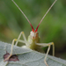 Broad-winged Tree Cricket - Photo (c) John Himmelman, some rights reserved (CC BY-NC-ND)