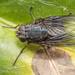 Calliphoroides antennatis - Photo (c) Danilo Hegg, todos los derechos reservados
