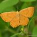 Mariposa Topacio de Ala Naranja - Photo (c) Juan Carlos Garcia Morales, todos los derechos reservados
