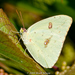 Cloudless Sulphur - Photo (c) Brad Moon, all rights reserved