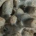 Dysidea amblia - Photo (c) Merry Passage, todos los derechos reservados
