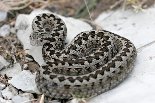 Vipera ursinii | snakedatabase org