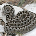 Meadow Viper - Photo (c) Clo, all rights reserved