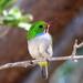 Todidae - Photo (c) Craig Evans, todos los derechos reservados