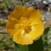 Hairy Abutilon - Photo (c) Jim Roberts, all rights reserved