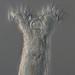 Philodina flaviceps - Photo (c) snailloid, todos los derechos reservados