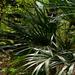 Rhapidophyllum hystrix - Photo (c) Matt Hunter, todos los derechos reservados