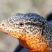 Iguana Chilena - Photo (c) Matt Brady, todos los derechos reservados