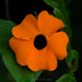 Black-eyed Susan Vine - Photo (c) cesar caballero, all rights reserved