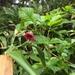 Rubus vernus - Photo (c) 近藤行仁, todos los derechos reservados