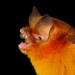Mexican Greater Funnel-eared Bat - Photo (c) Jose G. Martinez-Fonseca, all rights reserved
