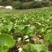Primula nipponica - Photo (c) 近藤行仁, todos los derechos reservados