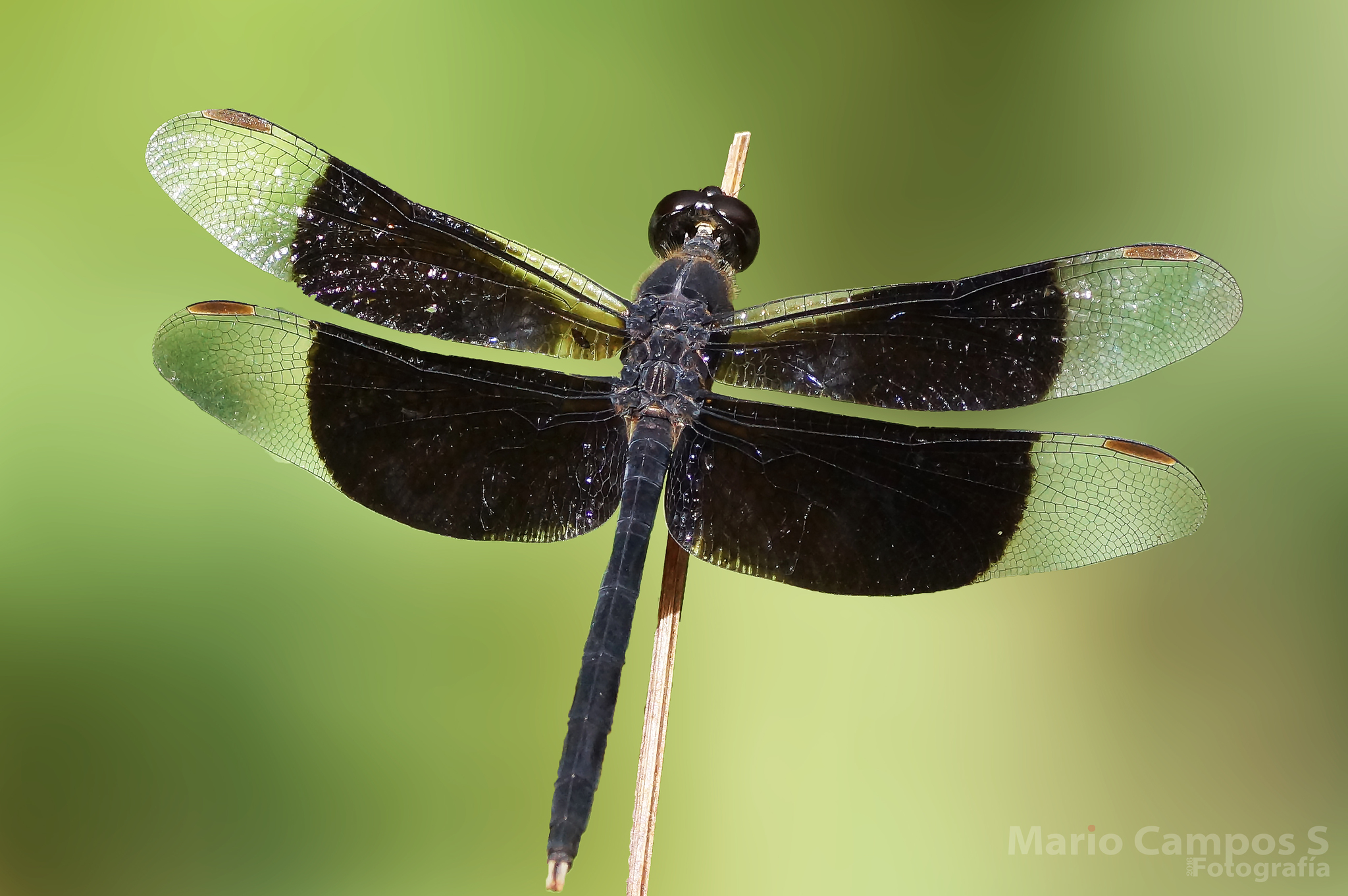 pics-black-winged-dragonfly
