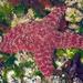 Estrella de Mar Ocre - Photo (c) Wendy Feltham, todos los derechos reservados