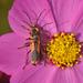 Chauliognathus limbicollis - Photo (c) Juan Carlos Garcia Morales, all rights reserved