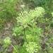 Aralia hispida - Photo (c) benandkerstyn, όλα τα δικαιώματα διατηρούνται