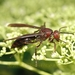 Giant Brown Paper Wasp - Photo (c) Roger Kendrick, all rights reserved