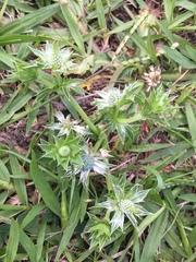 Eryngium carlinae image