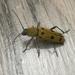 Chlorophorus glabromaculatus - Photo (c) yaka sregna, all rights reserved