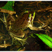 Swimming Frogs - Photo (c) pedroivosimoes, all rights reserved, uploaded by pedroivosimoes