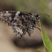 Codatractus arizonensis - Photo (c) manuelbasurto, kaikki oikeudet pidätetään