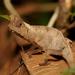 Brookesia superciliaris - Photo (c) Filip Husník, todos os direitos reservados