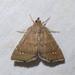 Focillidia texana - Photo (c) Joseph C, todos los derechos reservados