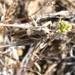 Idiostatus variegatus - Photo (c) Bufface, todos los derechos reservados