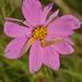 Chrysoecia thoracica - Photo (c) Juan Carlos Garcia Morales, todos los derechos reservados