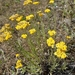 Helichrysum arenarium - Photo (c) Theis Gjedsted, כל הזכויות שמורות