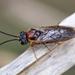 Craterocercus fraternalis - Photo (c) celestes, todos los derechos reservados
