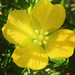 Mexican Primrose-Willow - Photo (c) April Mawson, all rights reserved
