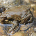 Bufo stejnegeri - Photo (c) pintail, todos los derechos reservados, uploaded by Kim, Hyun-tae