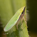 Draeculacephala antica - Photo (c) solomon, all rights reserved