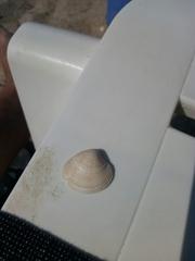 Chamelea gallina image