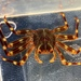 Nimble Spray Crab - Photo (c) Andre Giraldi, some rights reserved (CC BY)