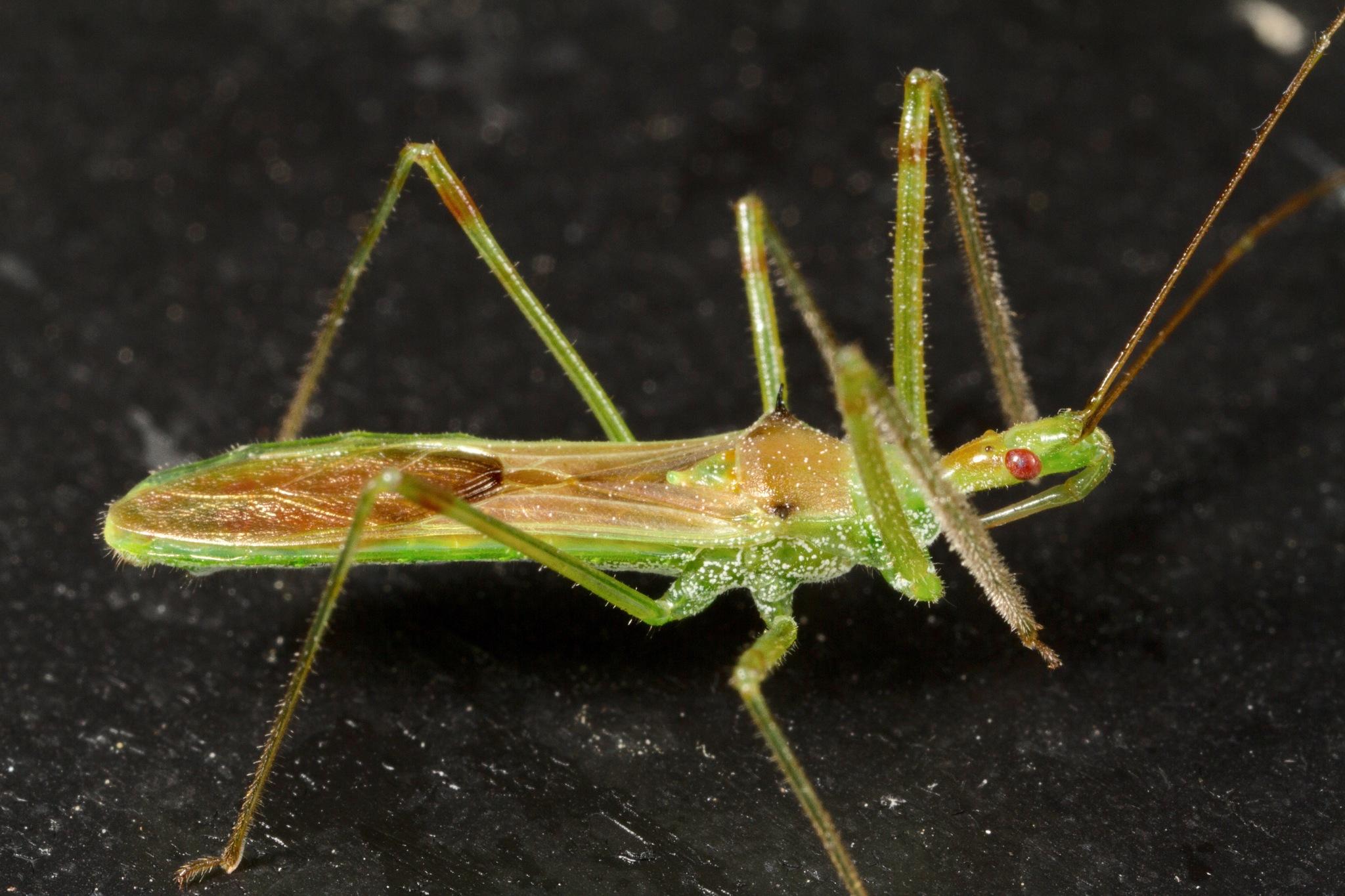 Pale Green Assassin Bug (Zelus luridus) · iNaturalist org