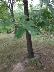 Image of Quercus laurifolia