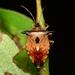 Bilberry Shieldbug - Photo (c) WonGun Kim, all rights reserved
