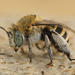 Blue-banded and Allied Digger Bees - Photo (c) Henk Wallays, all rights reserved