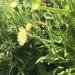 Schlagintweitia intybacea - Photo (c) wernerschneider, todos los derechos reservados