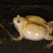 Boreal Digging Frog - Photo (c) pintail, all rights reserved, uploaded by Kim, Hyun-tae
