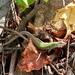 Podarcis siculus campestris - Photo (c) Amia, todos os direitos reservados