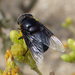 Mexican Cactus Fly - Photo (c) Cedric Lee, all rights reserved