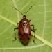 Deraeocoris brachialis - Photo (c) WonGun Kim, todos los derechos reservados