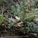 Astragalus humistratus - Photo (c) Scott Massed, todos los derechos reservados