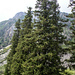 Schrenk's Spruce - Photo (c) Tamsin Carlisle, some rights reserved (CC BY-NC-SA)